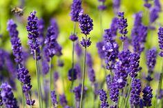 Vonná i ozdobná odrůda levandule Munstead blue a její pěstování ze semen