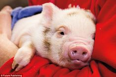 Scientists have found that pigs are smarter than dogs, and can solve problems just as well chimpanzees.The study's authors are hoping the results will make people think differently about animals that are seen as meat