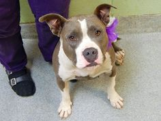 SAFE --- Manhattan Center   JESSICA - A1012563   FEMALE, GRAY / WHITE, PIT BULL MIX, 2 yrs STRAY - STRAY WAIT, NO HOLD Reason STRAY  Intake condition EXAM REQ Intake Date 09/01/2014, From NY 10475, DueOut Date 09/04/2014,    Main thread: https://www.facebook.com/photo.php?fbid=864682896877924
