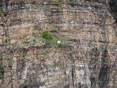 22 photos that mountain goats are fearless animals