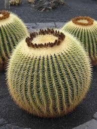 cactus ile ilgili görsel sonucu