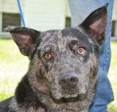 chivas  Breed: Cattle Dog (mix breed) Age: Adult Gender: Male  Size: Medium,  Shelter Information:   Animal Control of West Florida  686 Hwy 90   Chipley, FL  Shelter dog ID: Chivas Contacts:  Phone: 850-638-2082  Name:  Belva Vaughn  email: acowf@att.net