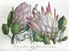 Protea cynaroides ~ King Protea, Erica mammosa Protea Art, King Protea, Flower Farmer, Feature Walls, Botanical Illustration, Things To Think About, Paintings, Floral, Artist