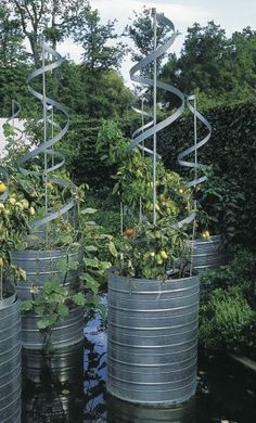 very cool tomato planters made from old olive oil drums.