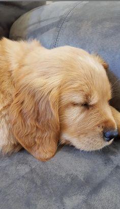 golden puppy Golden retriever puppy via Dogs Golden Retriever, Retriever Puppy, Golden Retrievers, Labrador Retrievers, Cute Puppies, Cute Dogs, Dogs And Puppies, Labrador Puppies, Husky Puppy
