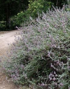 Purple Sage, Salvia leucophylla as a 30 year old bush, no water after established, companion plants are Encelia californica, Rhus integrifolia, Eriogonum cinerum, and Artemisia californica. There is a form of purple sage in the trade called Pt. Sal. Use the purple sage in heavy clays