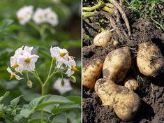 Lássuk, milyen növények közelében érzi jól magát a burgonya! Stuffed Mushrooms, Vegetables, Food, Stuff Mushrooms, Essen, Vegetable Recipes, Meals, Yemek, Veggies