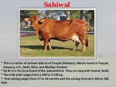 Cow breeds of India Dairy Cow Breeds, Breeds Of Cows, Cattle, Poultry, Desi, Ayurveda, Indian, Farming Ideas, Presentation