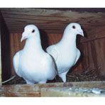 These Trenton Racing Homer pigeons are all white. With proper training the Trentons can be a successful long distance flight breed. Young, non-mated pigeons that have not been flown. High Flying Pigeons, Racing Pigeons, Homing Pigeons For Sale, Racing Pigeon Lofts, Backyard Ducks, Pigeon Pictures, Best Egg Laying Chickens, Pigeon Breeds, Pigeon Bird