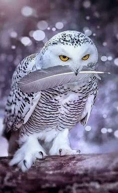 While wolves hunt on the ground, the Snowy Owl hunts from above. The Owl is a bird of prey & pack member. Beautiful Owl, Animals Beautiful, Amazing Animals, Stunningly Beautiful, Animals And Pets, Cute Animals, Owl Pictures, Owl Photos, Owl Bird