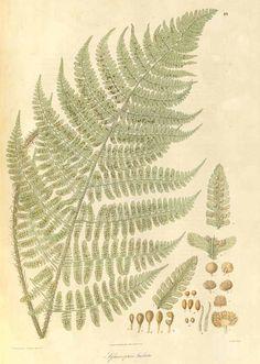 10753 Peranema cyatheoides D. Don [as Sphaeropteris barbata Wall.]  / Wallich, N., Plantae Asiaticae Rariores, vol. 1: t. 48 (1830) [C.M. Curtis & Franz Bauer]