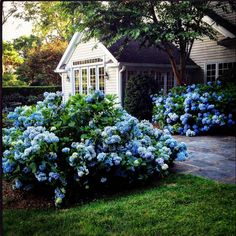 """Stacey Bewkes on Instagram: """"On this gray day, remembering when my house was abloom with color! Hydrangea season coming soon! #hydrangea #garden #summergarden"""" Hydrangea Season, Garden Spaces, Summer Garden, My Dream, My House, Beach House, Outdoor Living, Cottage, Exterior"""
