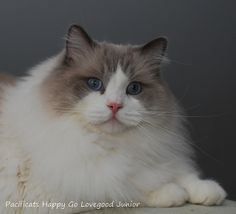 ragdoll cat Junior  3 years and 4 months
