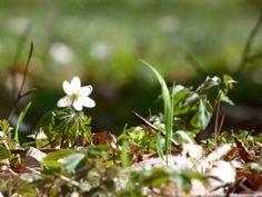 Frühling an der Ostsee | Mit den Buschwindröschen erwacht der Frühling (c) Frank Koebsch (6)
