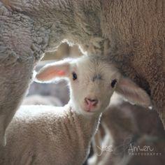 treasured - fine lamb cards (and so farm fresh). $5.50, via Etsy.