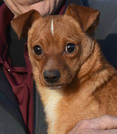 Rudy is an adoptable Dog - Chihuahua Mix searching for a forever family near Chauncey, OH. Use Petfinder to find adoptable pets in your area.