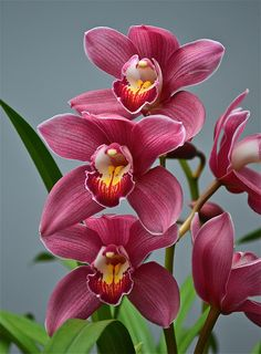 Cymbidium Royal Red 'Princess Nobuko' | Flickr - Photo Sharing!