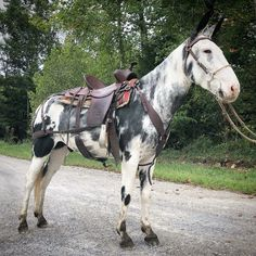 All The Pretty Horses, Beautiful Horses, Work With Animals, Cute Animals, Mules Animal, Cute Donkey, Work Horses, Breyer Horses, Zebras