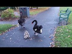 (2) Super Cute Birds - Dawlish Black Swan Cygnets Entering the Water in Dawlish - Unedited - YouTube Dog Breeds That Dont Shed, Tiny Dog Breeds, Unique Animals, Animals And Pets, Cute Animals, Dog Illustration, Big Bird, Cute Birds, Cute Animal Pictures