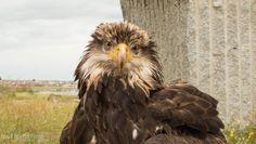 Águila calva fotografiada por José María Finat