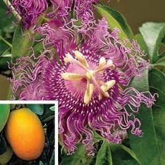 This Native Vine Produces Gorgeous Fragrant Flowers From Mid To Late Summer On 6 8 Vines The Flowers Turn Into Edible Fruit Called Maypops Th Passion Flower