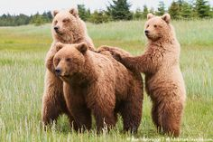 Brown Bear Sow with Cubs, Lake Clark National Park, Alaska