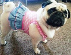 Pugly in skirt
