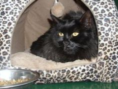 Onyx is an adoptable Domestic Long Hair-Black Cat in Vacaville, CA. **Please take note that if an animal is not yet spayed or neutered it CANNOT be adopted out of Solano County**  2200 Peabody Road V..