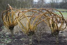 Willow woven trees