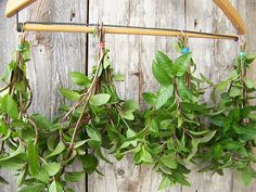 Hang fresh mint leaves from the garden upside down, crush and store in a dry place for a good homemade tea. {gardening}