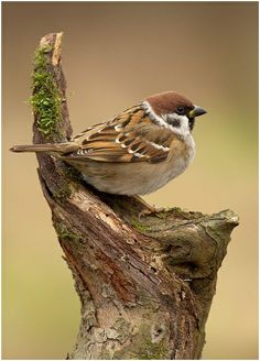 Passer montanus/Eurasian Tree Sparrow or Tree Sparrow/スズメ Pretty Birds, Love Birds, Beautiful Birds, Animals Beautiful, Small Birds, Little Birds, Colorful Birds, Vogel Gif, Sparrow Bird