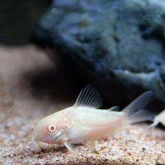 corydoras aeneus albino I THINK EVERY FRESH WATER TANK NEEDS ONE. CLEANER FISH