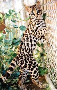 Margay Small Wild Cats, Small Cat, Big Cats, Margay Cat, Domestic Cat Breeds, Forest Habitat, Big Cat Rescue, Warrior Cats Art, Dog Facts