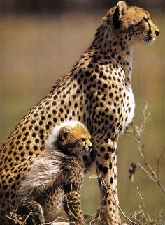 Cheetah and cub. Young cheetah cubs have a dense mane of light fur that extends partway down their backs. Some biologists believe that it may resemble the fur pattern of the Ratel, or Honey Badger, a bad tempered weasel like African animal, thus lending some protection to the cubs from other predators.