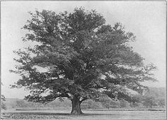 The Project Gutenberg eBook of Wayside and Woodland Trees, by Edward Step.