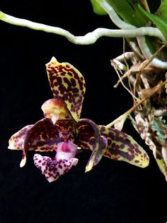 Kefersteinia parvilabris, flower detail by Daniel-CR, via Flickr