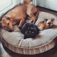 ❤️ La famille parfaite de Chip (anciennement Bjorn fils de Madison et Sammy). Souvent on me pose la question est ce que les chihuahuas s'entendent bien avec les gros chiens et les chats?  Je pense que cette famille est l'exemple parfait qu'un chihuahua provenant d'un éleveur qui socialise ses chiots s'adaptera à toute les situations ❤️  www.machupitouchihuahua.com
