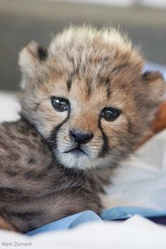 Four Cheetah cubs in the Cincinnati Zoo's nursery now have a brother from another mother: A lone Cheetah cub, just 12 days older than the zoo's litter of four, arrived in Cincinnati from Oregon's Wildlife Safari after his mother was unable to care for him.