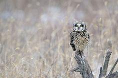 Short-eared Owl by ysbae491 #animals #animal #pet #pets #animales #animallovers #photooftheday #amazing #picoftheday