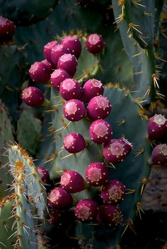 Very Juicy Ruby jeweled Prickly Pears! You need to know HOW to pick & cut these!!!