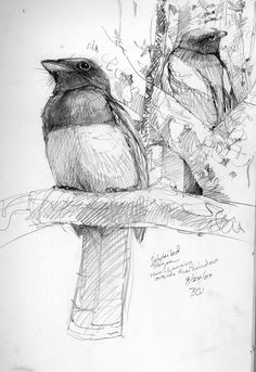LOTS and LOTS of painting and drawing tutorials and references on this site!!! North American Bird Sketches | Drawing The Motmot | If you're looking for an archive/library of: art, artist development, drawing tutorials, how to, references, concepts, models, anatomy, illustrations, bird, birds animal, animals. Find more at https://www.facebook.com/CharacterDesignReferences