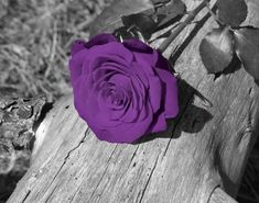 Black And White With Purple Photography <b>black white purple</b> rose flower wall art by littlepiephotoart <b></b>