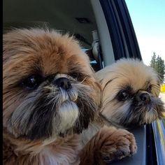 Shih Tzus … Freddie and Jack