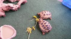 2 friends sharing dandilions, one of a horseifields favorite meals Russian Tortoise Care, Kawaii Turtle, Favorite Recipes, Community, Meals, Friends, Tortoise Turtle, Turtle, Amigos