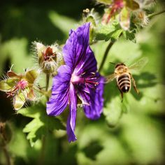 It's always a good idea to add good pollinator plants into your garden. Crps, Allotment, Life Is Good, Garden, Plants, Garten, Lawn And Garden, Life Is Beautiful, Gardens