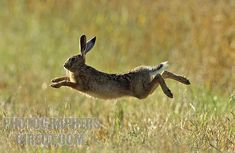 jumping in air flying Brown Hare leaping in the morning sun in a wheat field in Bedfordshire England UK stock photo