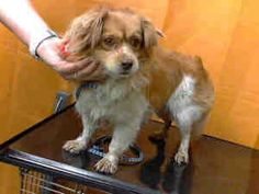 A535293 URGENT! @Devore Shelter is an adoptable Pekingese Dog in San Bernardino, CA. **WE NEED VOLUNTEERS TO POST & REMOVE PETS ON PETFINDER. IF YOU CAN COMMIT TO THE CAUSE OF HELPING SAVE SHELTER ANI...