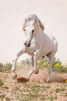 Der Begriff Araber ist umgangssprachlich ein Überbegriff für Pferde die dem Erscheinungsbild und der Herkunft nach arabischen Ursprungs sind, gleichgültig ob sie von der World Arabian Horse Organisation anerkannt sind oder nicht. Im engeren Sinn bezeichnet der Begriff eine eigene Rassegruppe innerhalb der arabischen Pferde[2]. In die Rassegruppe Araber werden die Pferde eingeordnet, deren Blut nicht rein genug ist, um als Vollblutaraber zu gelten, deren Anteil an Fremdblut jedoch zu gering…