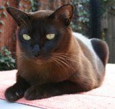 We had a brown burmese cat when I was growing up. His name was Titty. Yes, you read that correctly... HIS name was TITTY. lol Best cat ever. I still miss him.