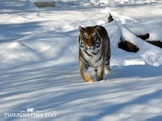 Amur tigers have a think coat of fur and a layer of fat up to 2 inches thick on their belly and flanks help them tolerate temperatures as low as -45 degrees Fahrenheit. This moment was captured by Jaime McQuade.